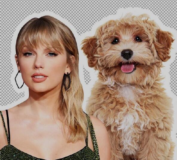 宠物狗智商价格排行榜:十大新手最好养的小型犬你知道有哪些吗?